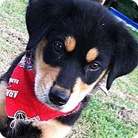 Adopt A Pet :: Baxter - Somers, CT