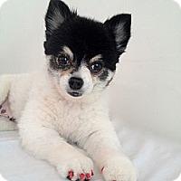 Adopt A Pet :: Violet - Toluca Lake, CA