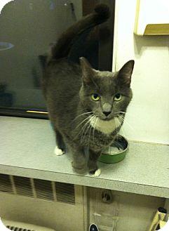 American Shorthair Cat for adoption in New York, New York - Juno