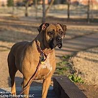 Adopt A Pet :: Zsa Zsa - Hurst, TX