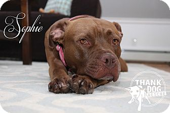 Boxer/Pit Bull Terrier Mix Dog for adoption in Newtown, Connecticut - Sophie