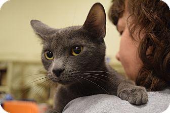 Domestic Shorthair Cat for adoption in Washington, Pennsylvania - Suzie