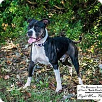 Adopt A Pet :: Capone - North Myrtle Beach, SC