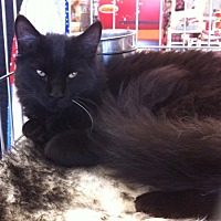 Domestic Mediumhair Kitten for adoption in Sacramento, California - Cole M