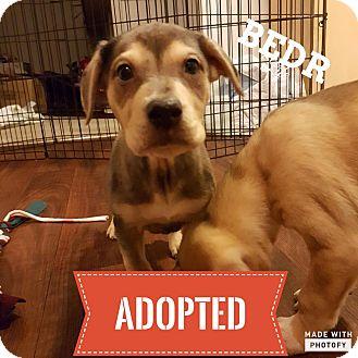 Labrador Retriever/Catahoula Leopard Dog Mix Puppy for adoption in Regina, Saskatchewan - Maddock