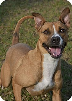 Staffordshire Bull Terrier Mix Dog for adoption in Aiken, South Carolina - Reba