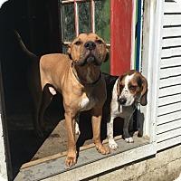 Adopt A Pet :: Silas - East Randolph, VT