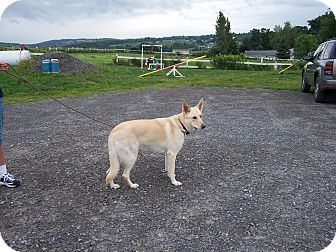 German Shepherd Dog Dog for adoption in Tully, New York - CARLY