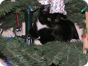 Domestic Shorthair Kitten for adoption in Monroe, Georgia - Bounce