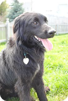Border Collie Mix Dog for adoption in Plainfield, Illinois - Beckham