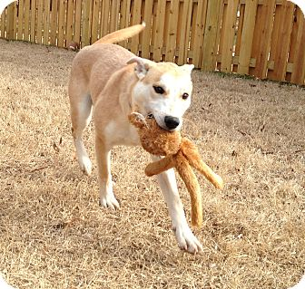 Canaan Dog/Husky Mix Dog for adoption in Knoxville, Tennessee - Dakota
