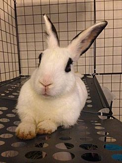 Dwarf Hotot Mix for adoption in Los Angeles, California - Lulu