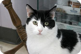 Domestic Shorthair Cat for adoption in Warwick, Rhode Island - Carnation