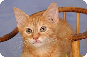 Domestic Shorthair Kitten for adoption in mishawaka, Indiana - Chandler