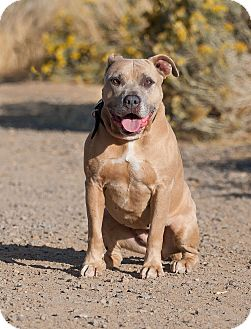 Pit Bull Terrier Mix Dog for adoption in Washoe Valley, Nevada - Nellie