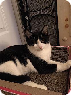 Domestic Shorthair Cat for adoption in Fredericksburg, Virginia - Sylvester