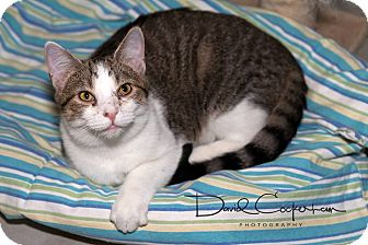 Domestic Shorthair Cat for adoption in Monterey, Virginia - Jack