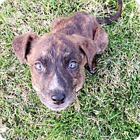 Adopt A Pet :: Snuffy - Fairview Heights, IL