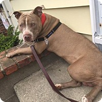 Adopt A Pet :: Jersey Besides being a MUSH and is so FUNNY - Rowayton, CT