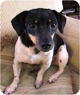Rat Terrier Mix Dog for adoption in Jacksonville, Florida - Maggie