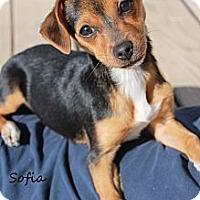 Adopt A Pet :: Sofia - Fountain, CO