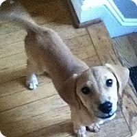 Adopt A Pet :: Abby - MD - Jacobus, PA