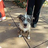 Adopt A Pet :: Kramer - Apex, NC