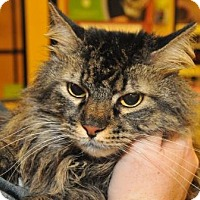 Domestic Longhair Cat for adoption in Garland, Texas - Squeaker