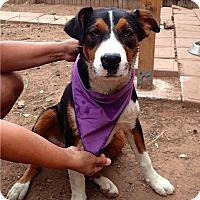 Adopt A Pet :: Jenny - dewey, AZ