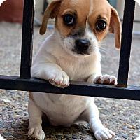 Adopt A Pet :: Scampers - Bridgeton, MO