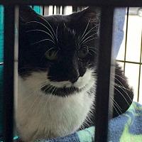 Domestic Shorthair Cat for adoption in Columbus, Ohio - Adrienne