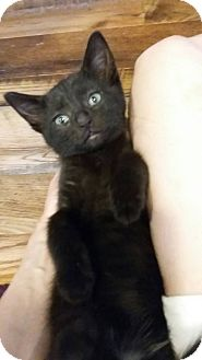 Domestic Shorthair Kitten for adoption in Warren, Michigan - Oprah
