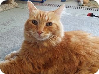 Domestic Longhair Cat for adoption in Grants Pass, Oregon - Mufasa