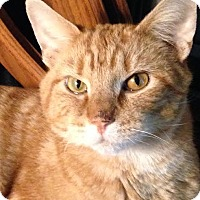 Domestic Shorthair Cat for adoption in Nashville, Indiana - Evan (Foster - NO FEE)