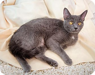 Domestic Shorthair Cat for adoption in Wilmington, Ohio - Sophie