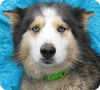 Husky/Shepherd (Unknown Type) Mix Dog for adoption in Cuba, New York - Beaux Yeux Matters