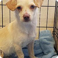 Adopt A Pet :: SUMMER - Gustine, CA