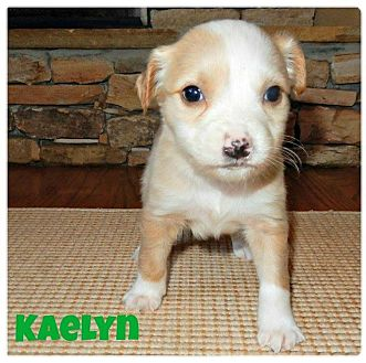 Terrier (Unknown Type, Medium)/Border Collie Mix Puppy for adoption in Alpharetta, Georgia - Kaelyn
