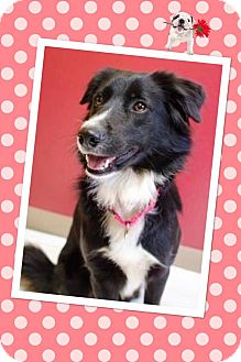 Border Collie Dog for adoption in E. Wenatchee, Washington - Bessie