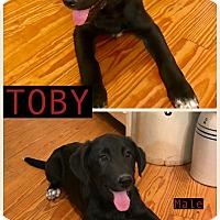 Adopt A Pet :: Toby meet me 4/21 - Manchester, CT
