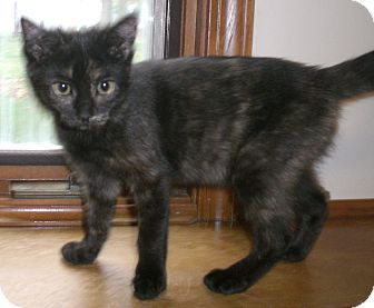 Domestic Shorthair Kitten for adoption in Byron Center, Michigan - Penny