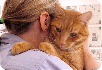 Domestic Shorthair Cat for adoption in Davis, California - Nicholas Q Pumpkin