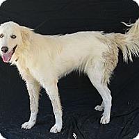 Adopt A Pet :: Snowbelle - Plano, TX