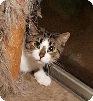 Domestic Shorthair Cat for adoption in Orlando, Florida - Walter