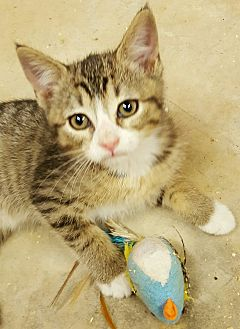American Shorthair Kitten for adoption in Gainesville, Georgia - myra