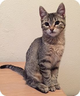 Domestic Shorthair Cat for adoption in St. Louis, Missouri - Tarasenko