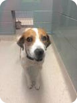 Beagle Mix Dog for adoption in Columbus, Georgia - Lilly 2236