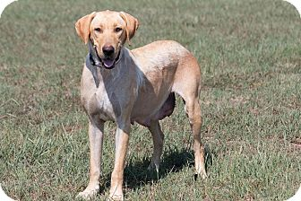 Labrador Retriever Mix Dog for adoption in Broken Arrow, Oklahoma - Camille