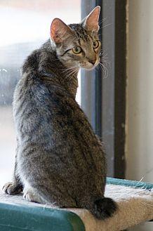 Domestic Shorthair Cat for adoption in Houston, Texas - BOBBIE