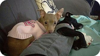 Chihuahua Mix Dog for adoption in North Brunswick, New Jersey - Stella